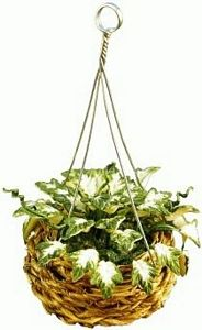Ivy in Hanging Basket